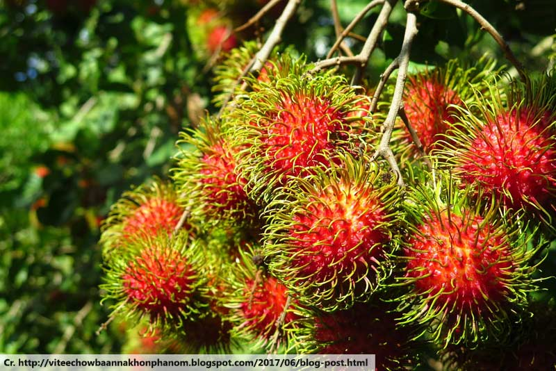Rambutan, เงาะ, ผลไม้ไทย